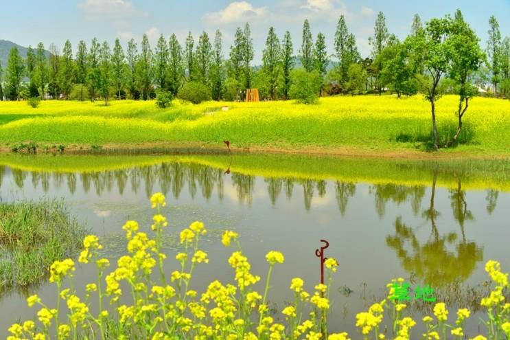 Kết quả hình ảnh cho 순천만자연생태공원 유채꽃