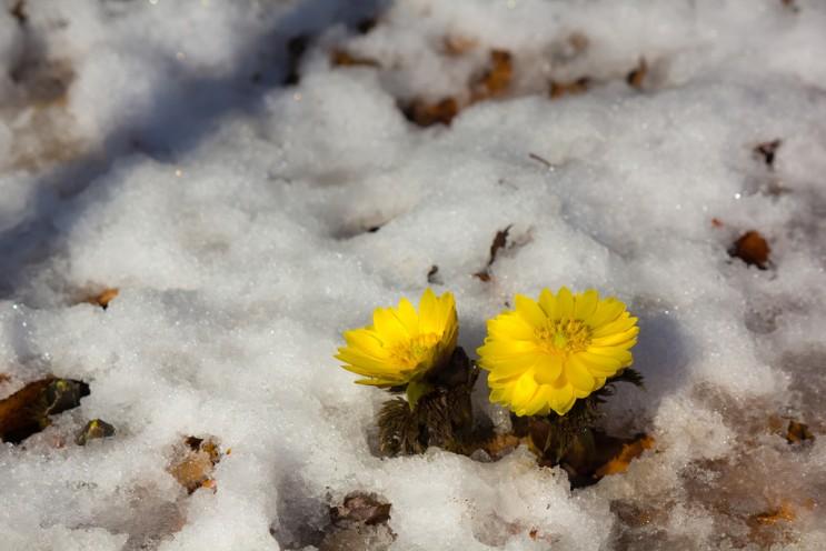Image result for 얼음을 뚫고 올라오는 봄 꽃